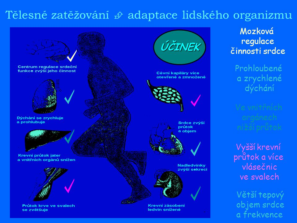 Tělesné zatěžování  adaptace lidského organizmu