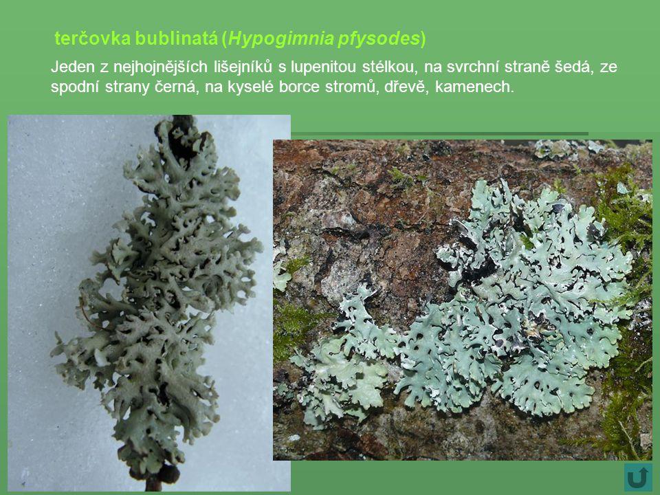 terčovka bublinatá (Hypogimnia pfysodes)