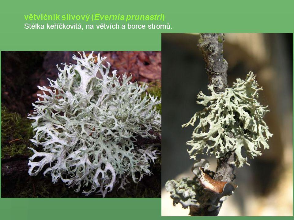 větvičník slívový (Evernia prunastri)