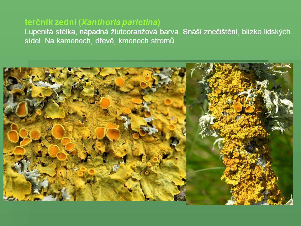 terčník zední (Xanthoria parietina)
