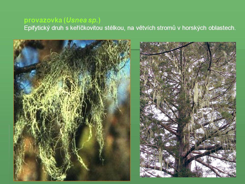 provazovka (Usnea sp.) Epifytický druh s keříčkovitou stélkou, na větvích stromů v horských oblastech.