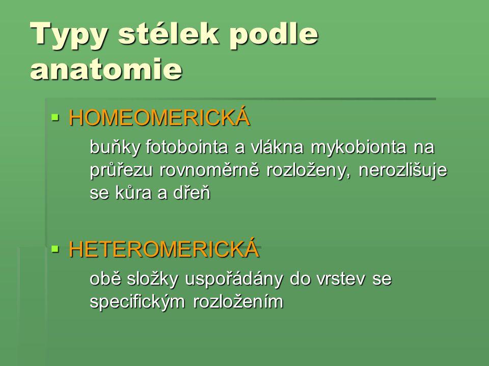 Typy stélek podle anatomie