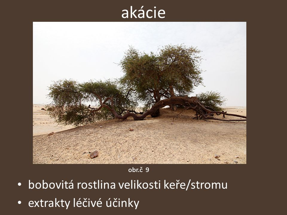 akácie bobovitá rostlina velikosti keře/stromu extrakty léčivé účinky