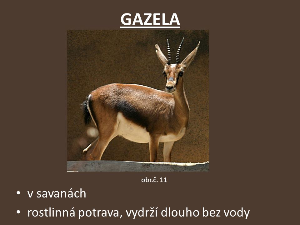 GAZELA obr.č. 11 v savanách rostlinná potrava, vydrží dlouho bez vody
