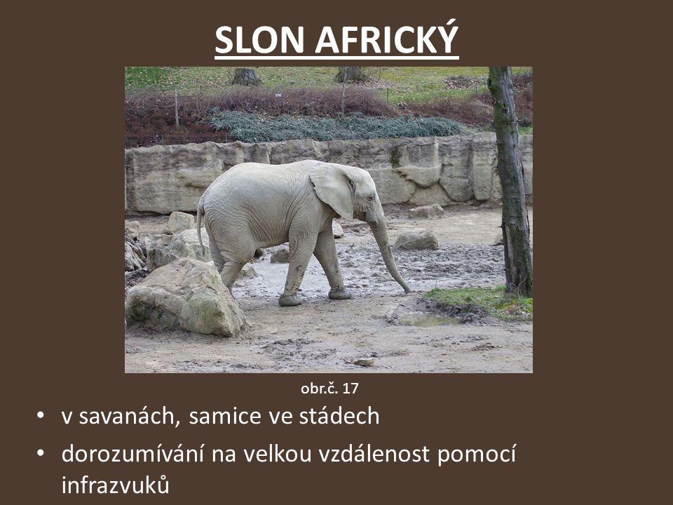 SLON AFRICKÝ v savanách, samice ve stádech