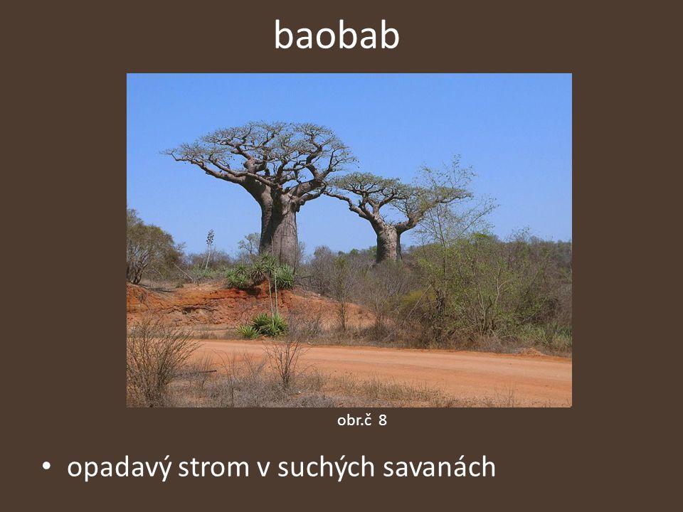 baobab obr.č 8 opadavý strom v suchých savanách