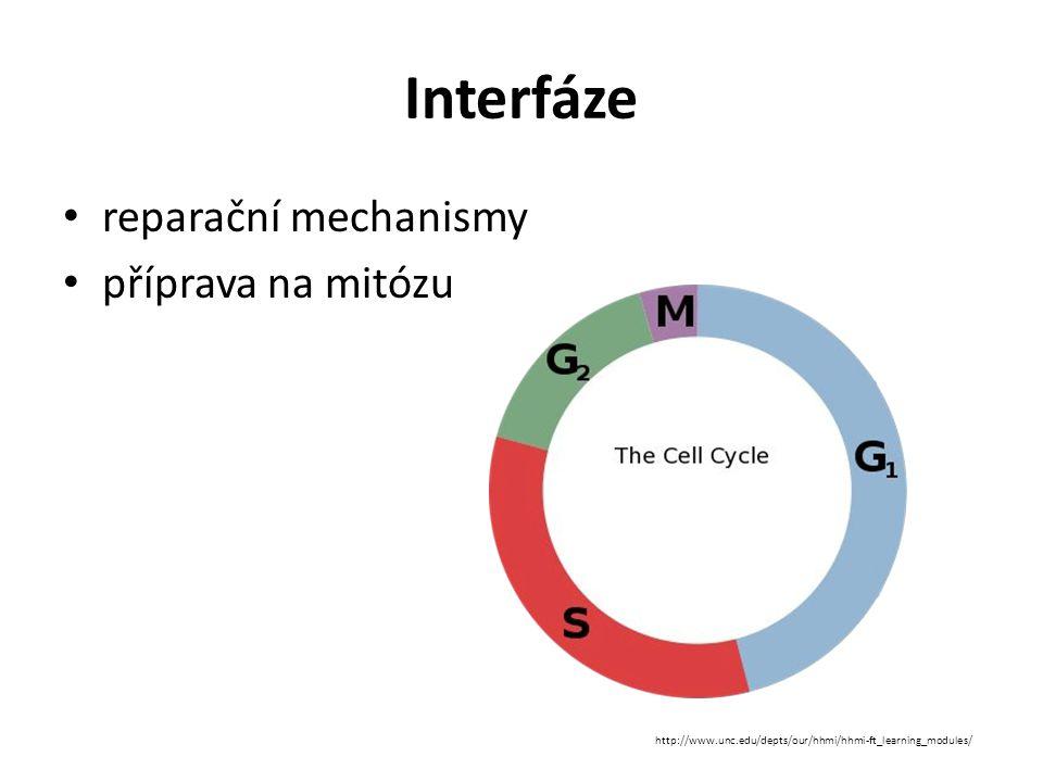 Interfáze reparační mechanismy příprava na mitózu