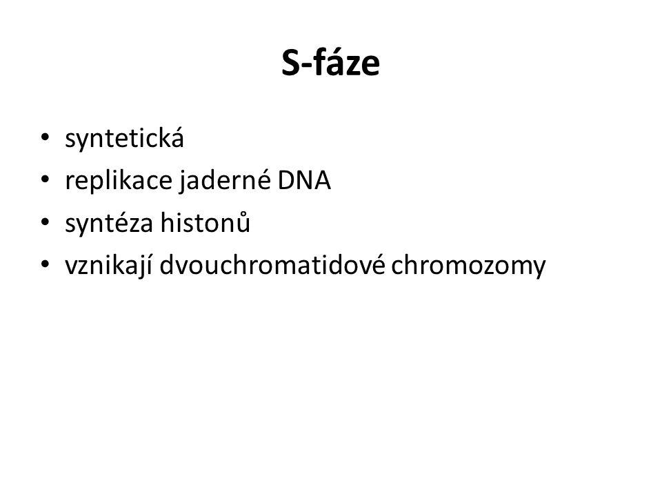 S-fáze syntetická replikace jaderné DNA syntéza histonů
