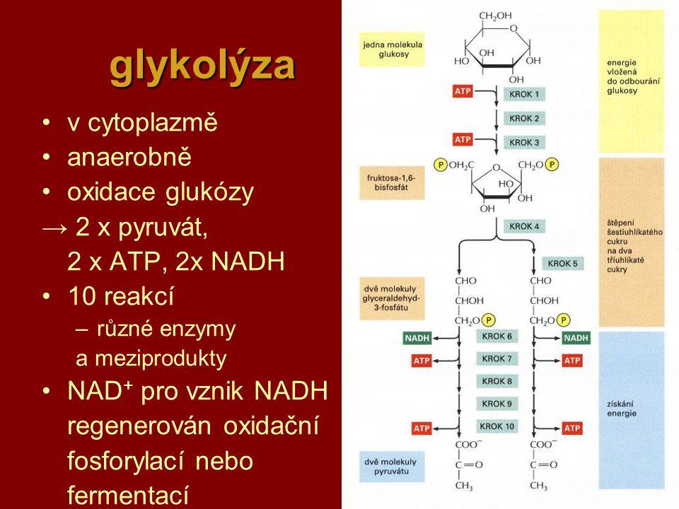 glykolýza v cytoplazmě anaerobně oxidace glukózy → 2 x pyruvát,