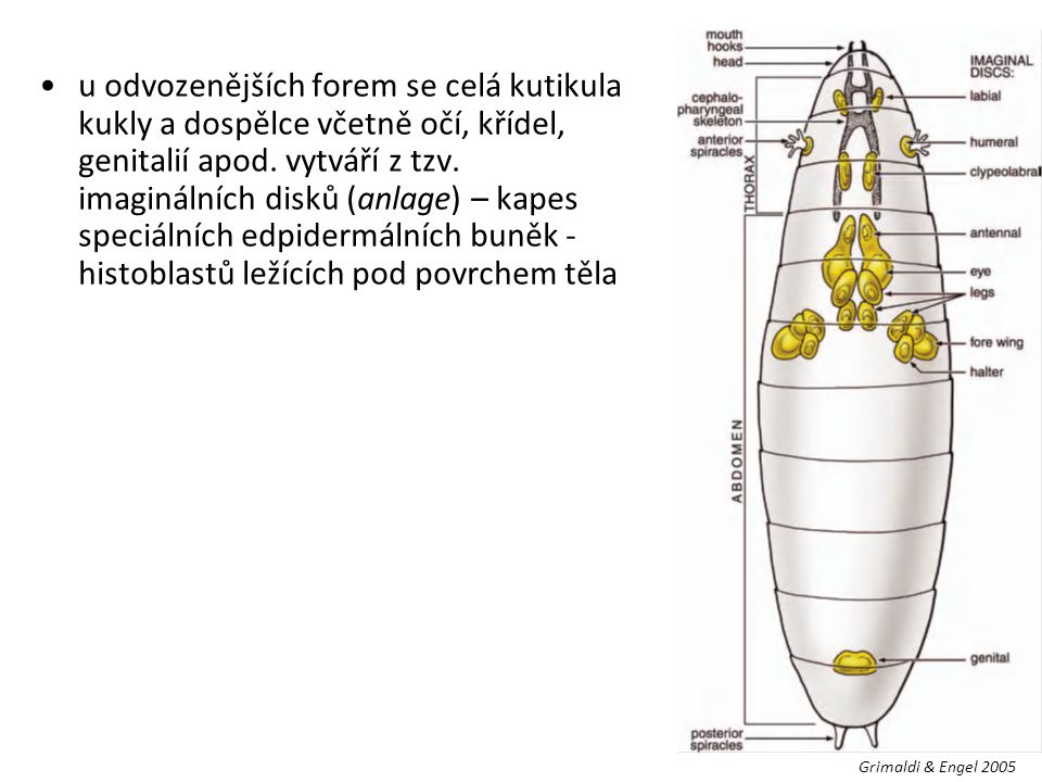 u odvozenějších forem se celá kutikula kukly a dospělce včetně očí, křídel, genitalií apod. vytváří z tzv. imaginálních disků (anlage) – kapes speciálních edpidermálních buněk - histoblastů ležících pod povrchem těla