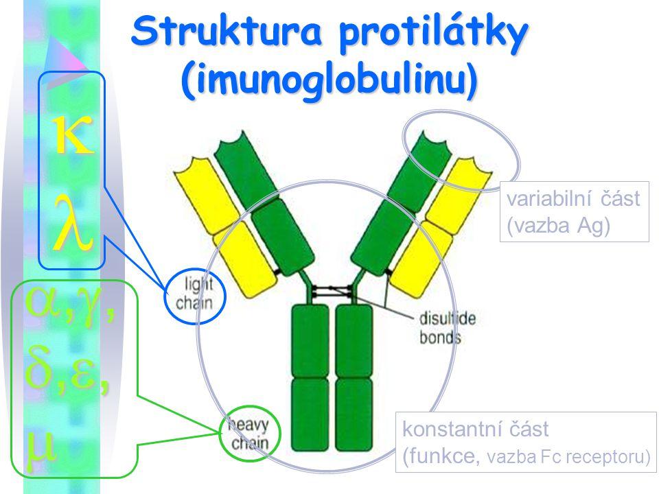Struktura protilátky (imunoglobulinu)
