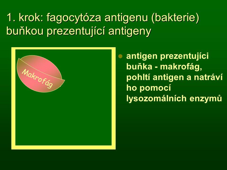 1. krok: fagocytóza antigenu (bakterie) buňkou prezentující antigeny