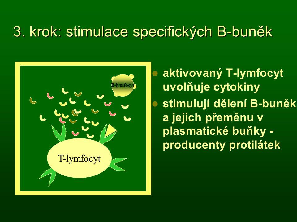 3. krok: stimulace specifických B-buněk