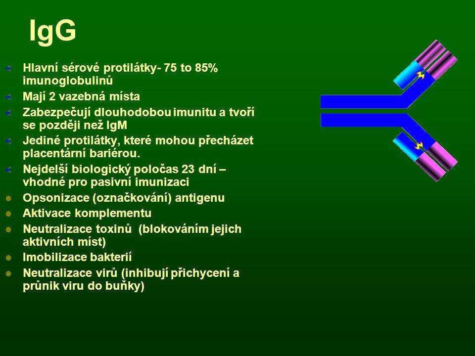 IgG Hlavní sérové protilátky- 75 to 85% imunoglobulinů