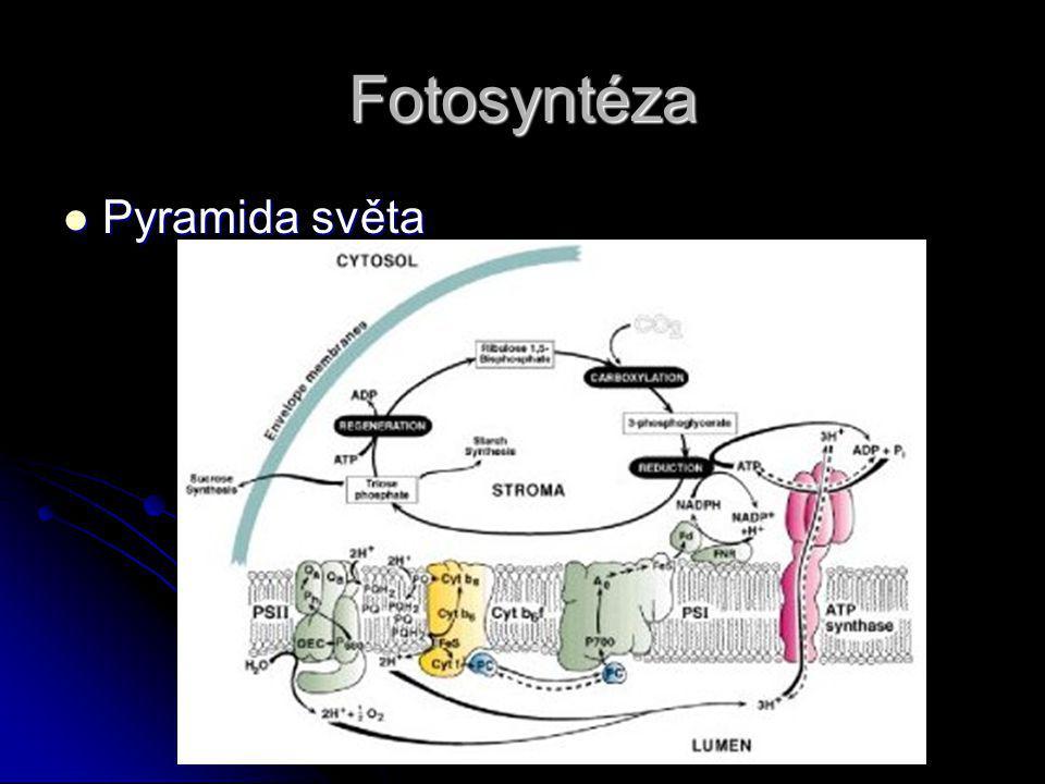 Fotosyntéza Pyramida světa