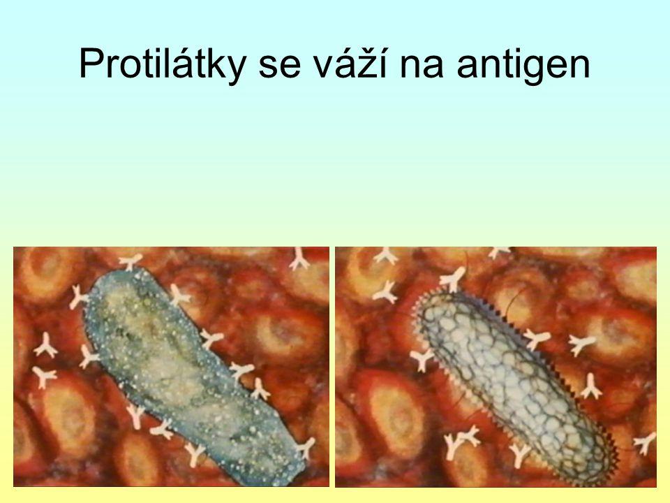 Protilátky se váží na antigen