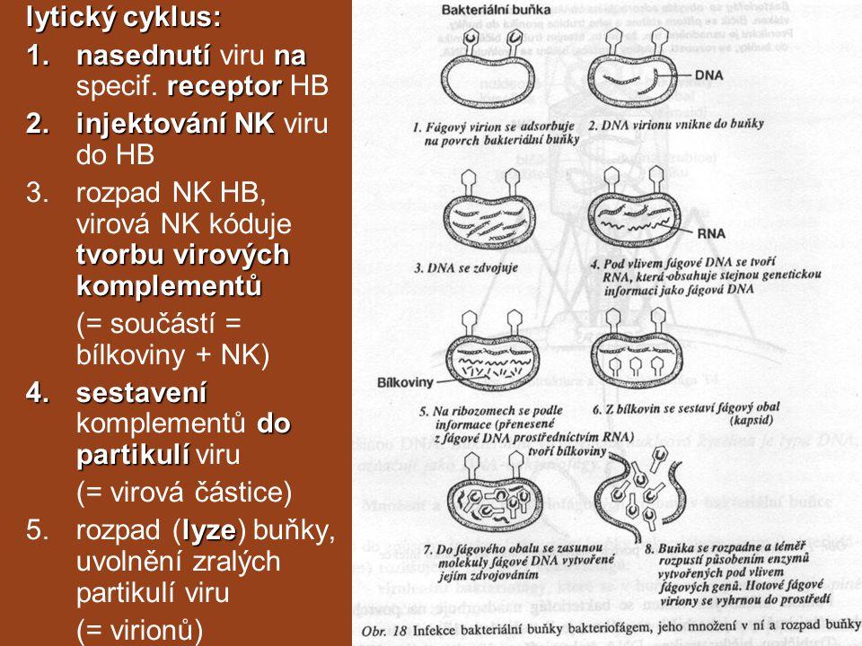 lytický cyklus: nasednutí viru na specif. receptor HB. injektování NK viru do HB. rozpad NK HB, virová NK kóduje tvorbu virových komplementů.