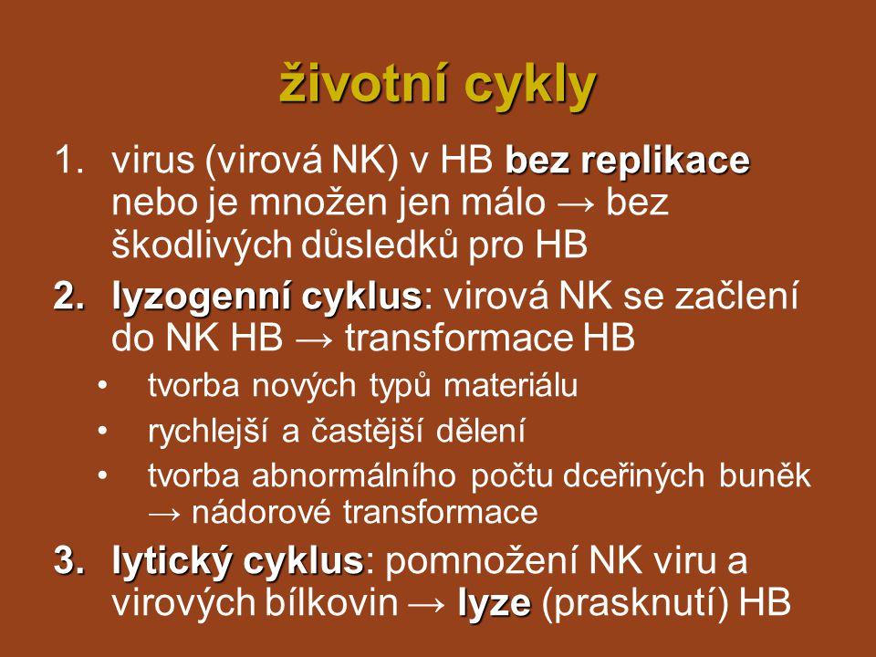 životní cykly virus (virová NK) v HB bez replikace nebo je množen jen málo → bez škodlivých důsledků pro HB.