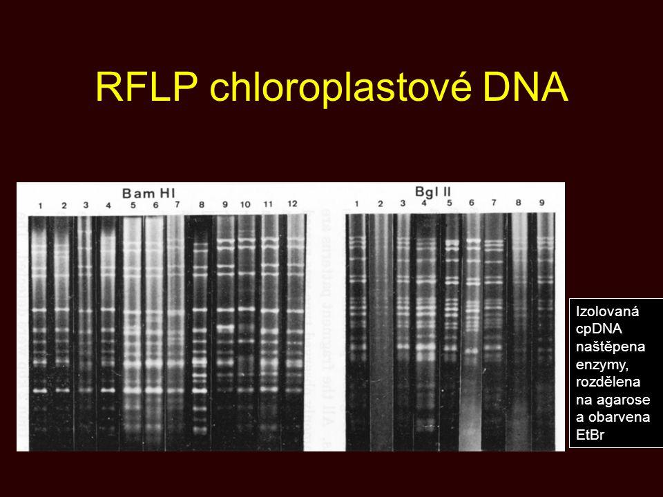 RFLP chloroplastové DNA