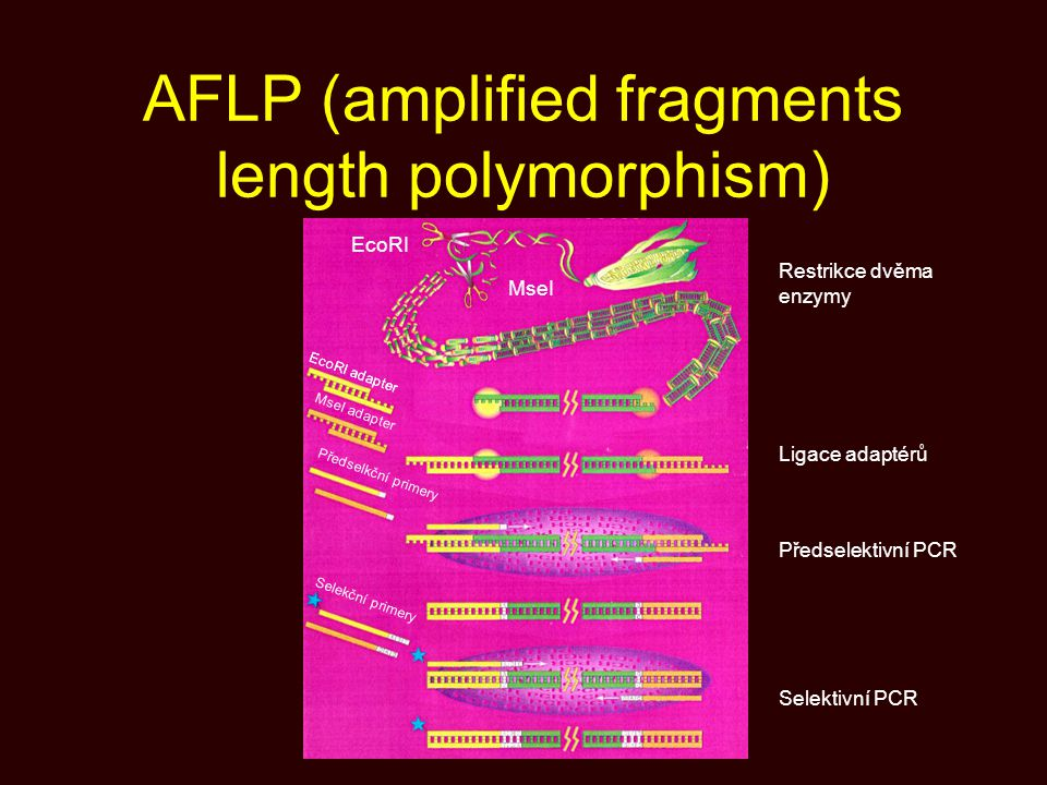 AFLP (amplified fragments length polymorphism)