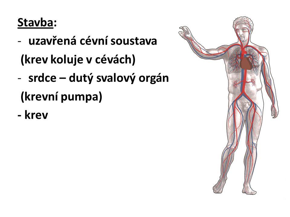 Stavba: uzavřená cévní soustava. (krev koluje v cévách) srdce – dutý svalový orgán. (krevní pumpa)