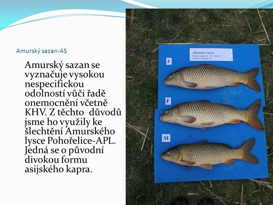 Amurský sazan-AS