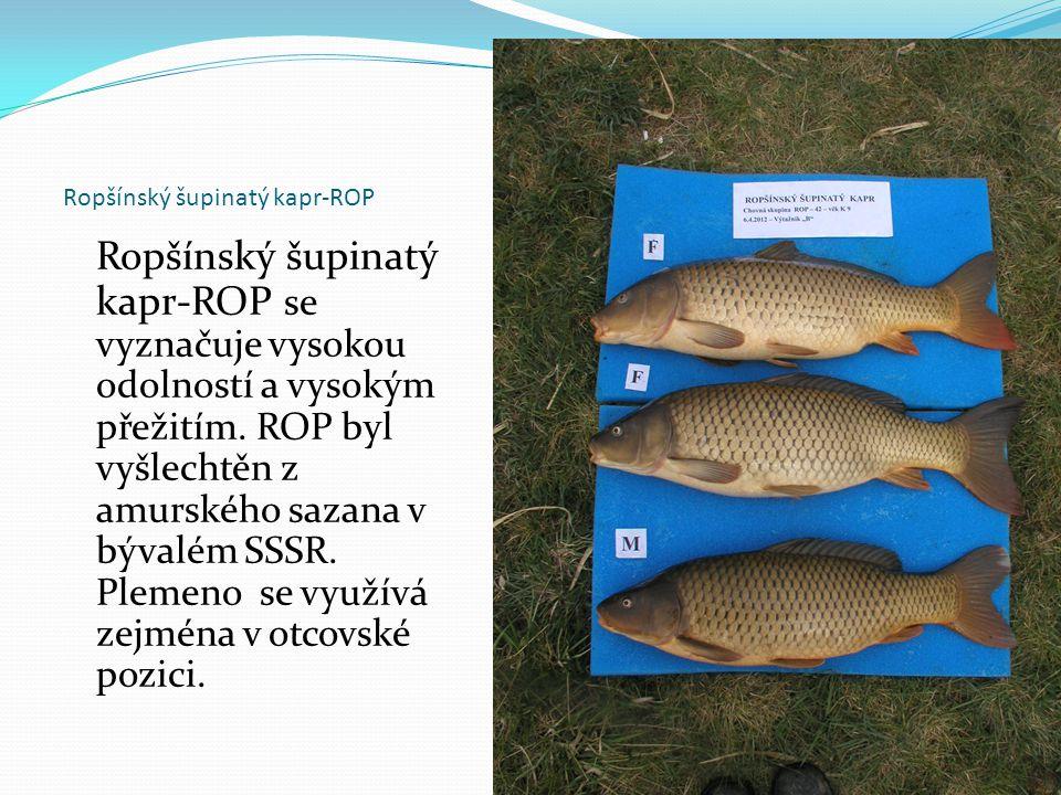 Ropšínský šupinatý kapr-ROP