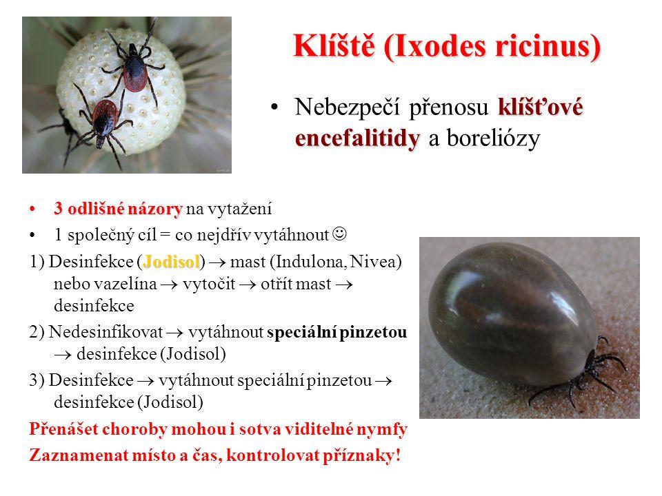 Klíště (Ixodes ricinus)