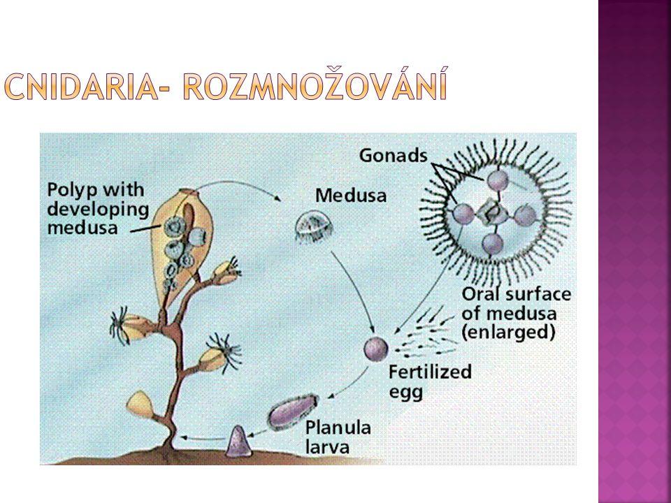 Cnidaria- rozmnožování