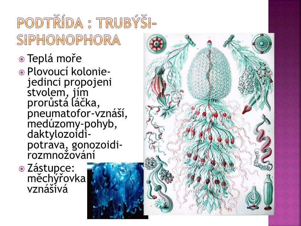 Podtřída : trubýši- Siphonophora