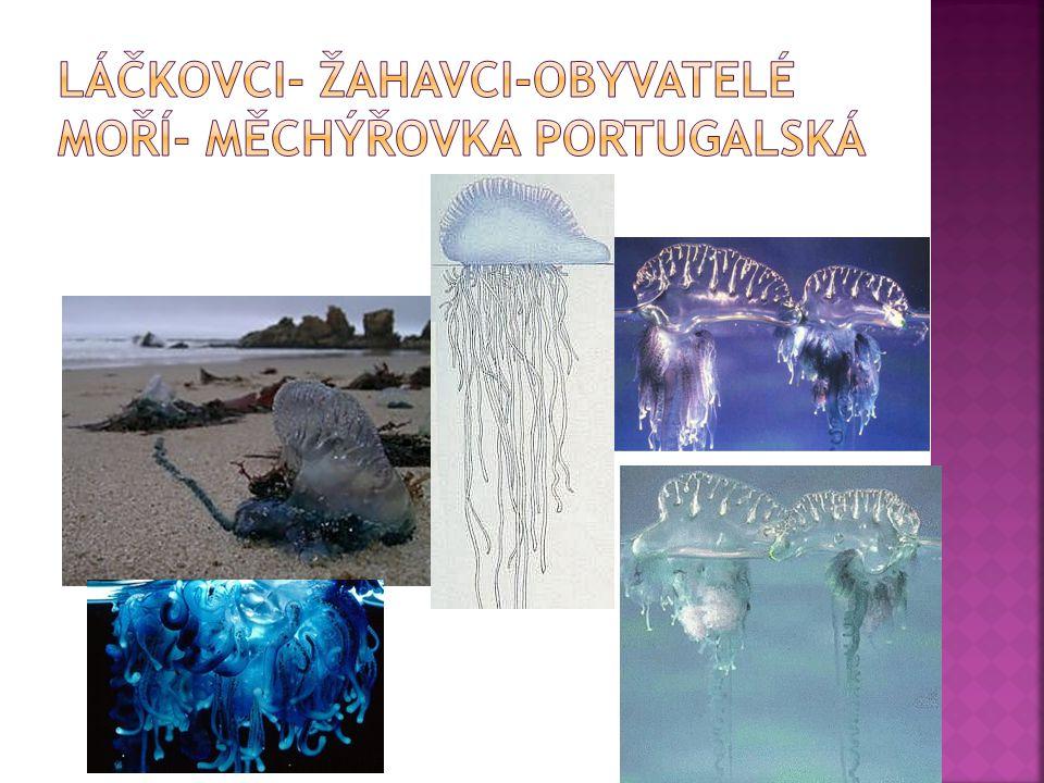 Láčkovci- žahavci-obyvatelé moří- měchýřovka portugalská