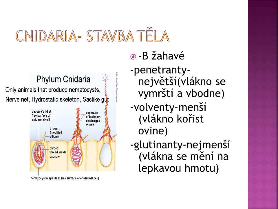 Cnidaria- stavba těla -B žahavé