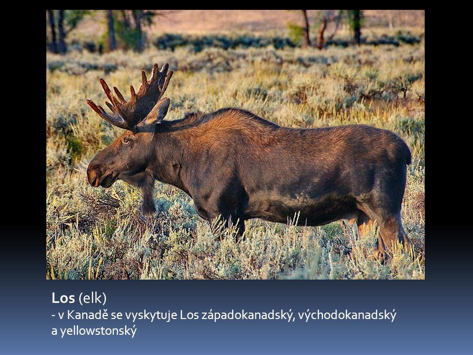 Los (elk) - v Kanadě se vyskytuje Los západokanadský, východokanadský a yellowstonský.