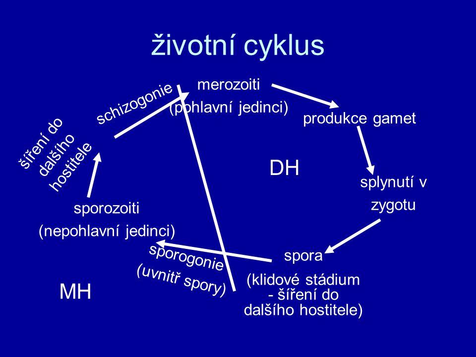 životní cyklus DH MH merozoiti (pohlavní jedinci) schizogonie