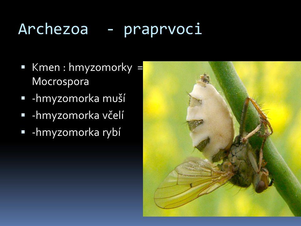 Archezoa - praprvoci Kmen : hmyzomorky = Mocrospora -hmyzomorka muší