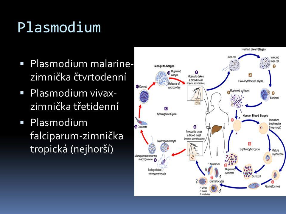 Plasmodium Plasmodium malarine- zimnička čtvrtodenní