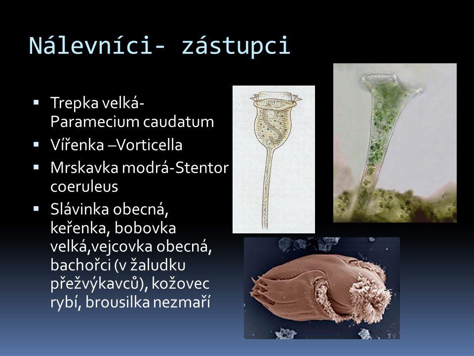 Nálevníci- zástupci Trepka velká- Paramecium caudatum