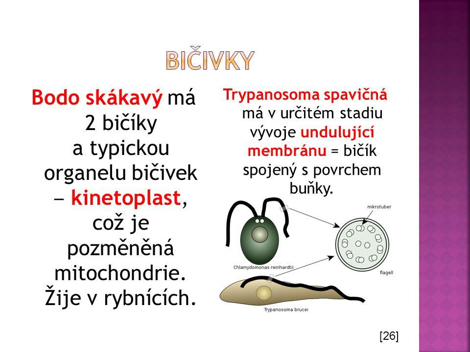 bičivky Bodo skákavý má 2 bičíky a typickou organelu bičivek ‒ kinetoplast, což je pozměněná mitochondrie. Žije v rybnících.