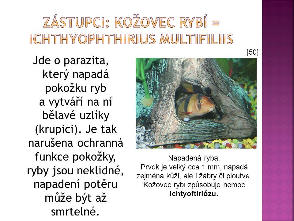 Zástupci: Kožovec rybí = Ichthyophthirius multifiliis