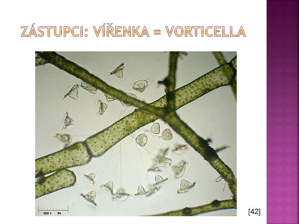 Zástupci: vířenka = Vorticella