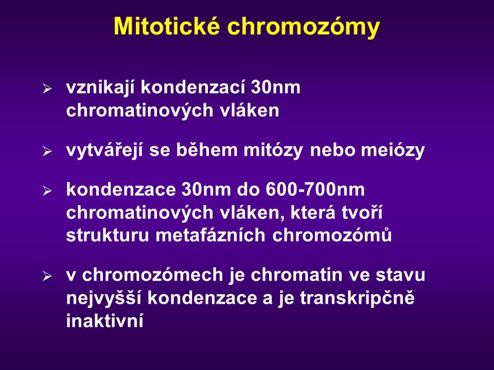 Mitotické chromozómy vznikají kondenzací 30nm chromatinových vláken
