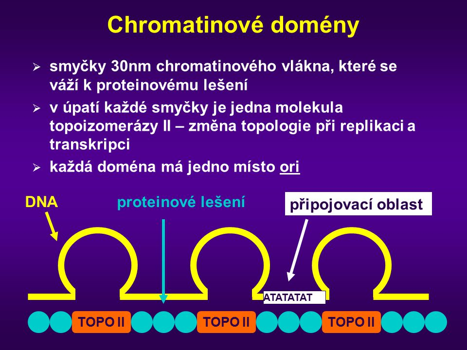 Chromatinové domény smyčky 30nm chromatinového vlákna, které se váží k proteinovému lešení.