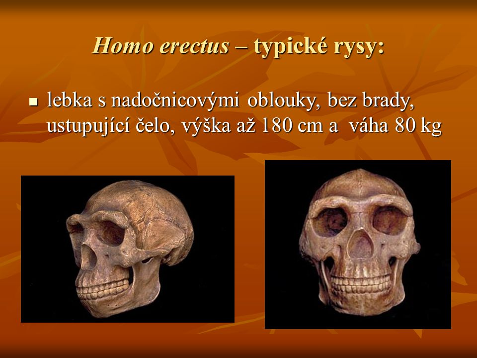 Homo erectus – typické rysy:
