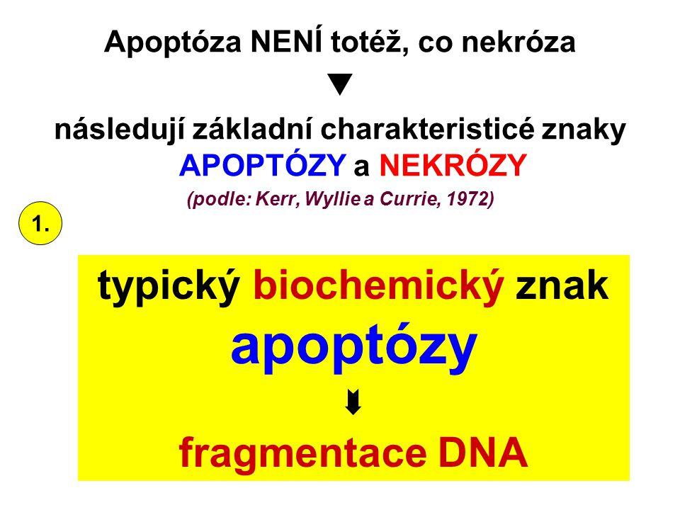 apoptózy typický biochemický znak  fragmentace DNA