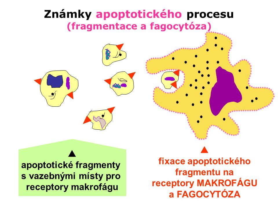 Známky apoptotického procesu (fragmentace a fagocytóza)