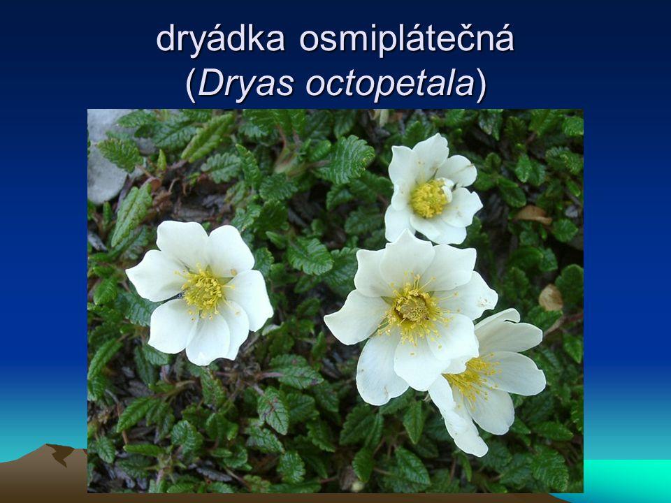 dryádka osmiplátečná (Dryas octopetala)