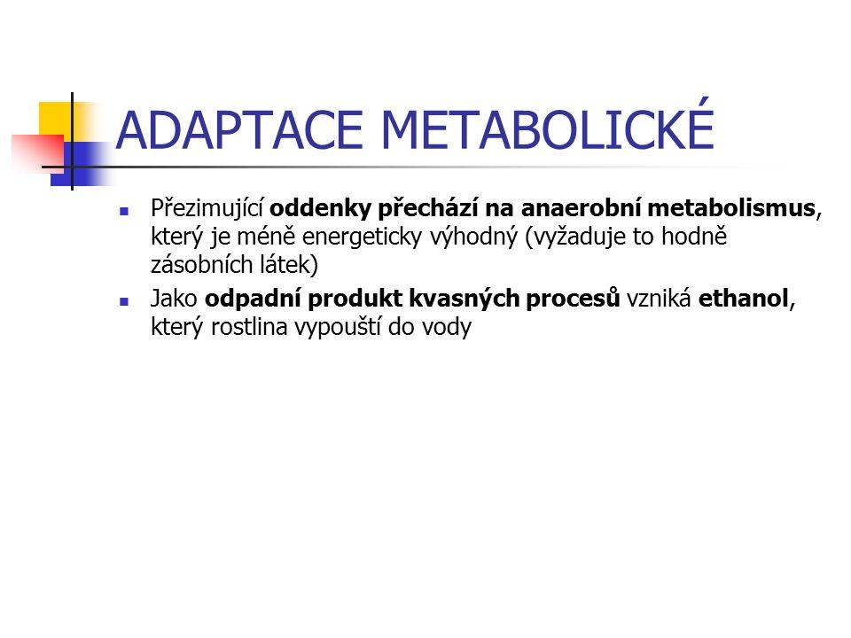 ADAPTACE METABOLICKÉ Přezimující oddenky přechází na anaerobní metabolismus, který je méně energeticky výhodný (vyžaduje to hodně zásobních látek)