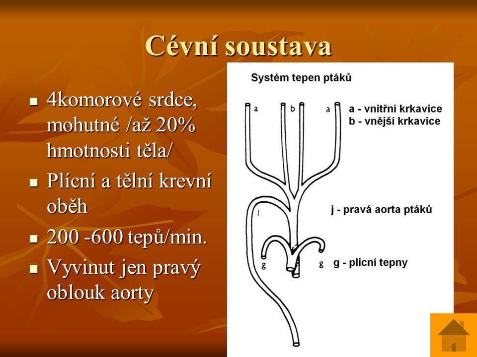 Cévní soustava 4komorové srdce, mohutné /až 20% hmotnosti těla/