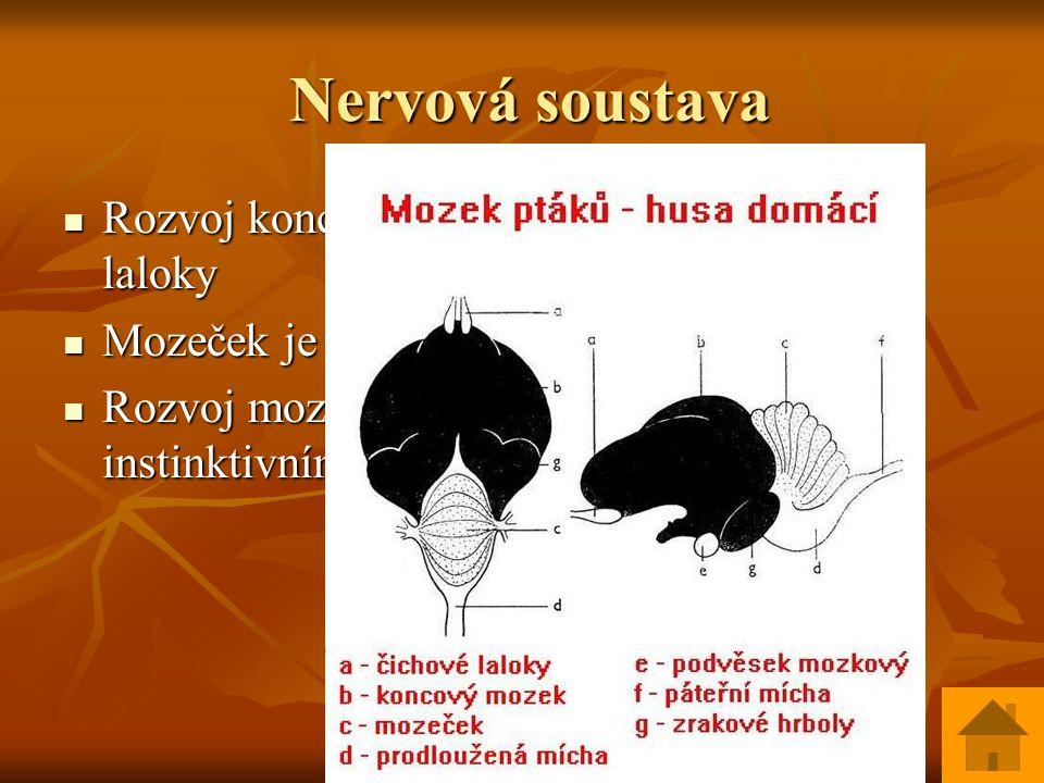 Nervová soustava Rozvoj koncového mozku – velké zrakové laloky