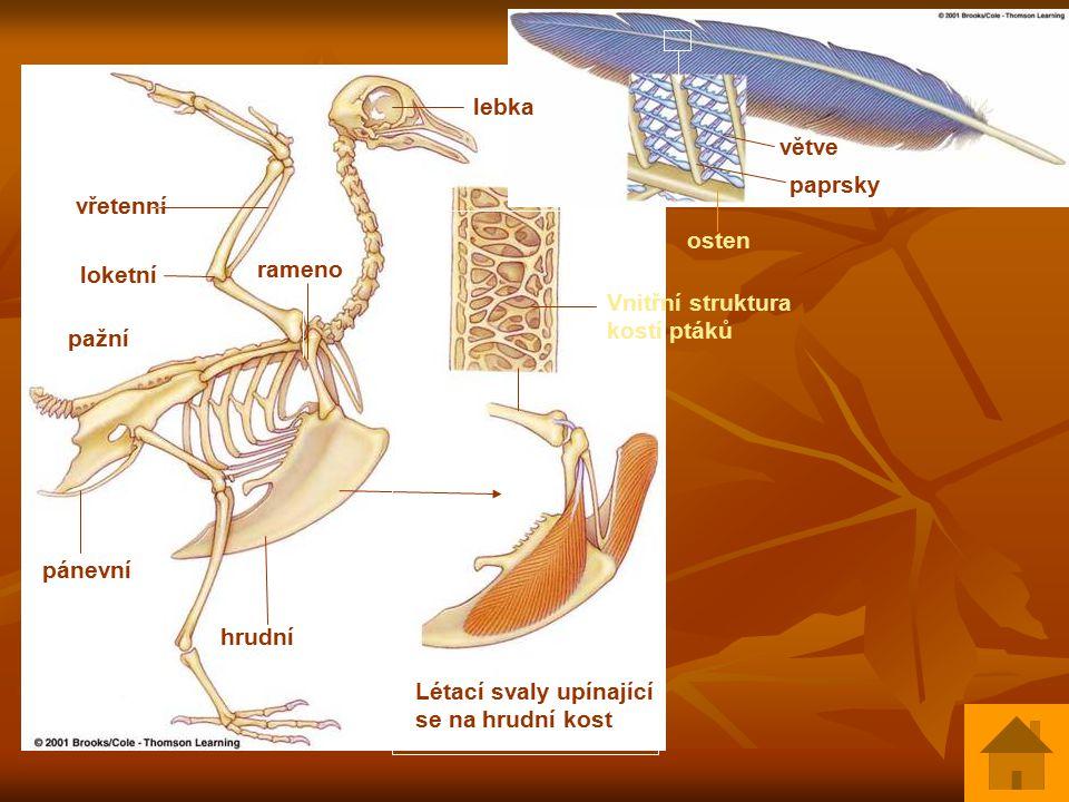 lebka větve. paprsky. vřetenní. osten. loketní. rameno. Vnitřní struktura kostí ptáků. pažní.
